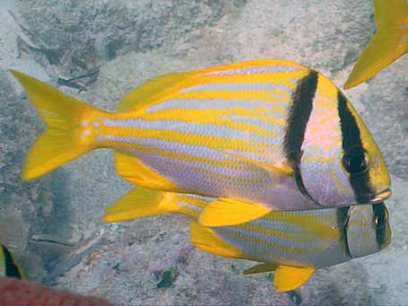 Striped fish in florida