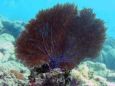 Purple Sea Fan San pedro - discover the biology