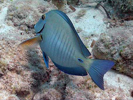 Doctorfish tang for The fish doctor