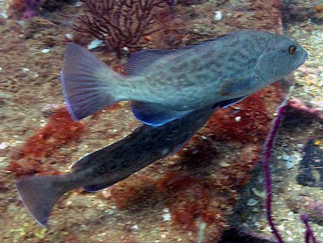 ... body color can differ based on sex, age, and activity level. Gag Grouper